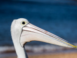 Australian white pelican profile