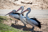 Three pelicans waiting for a meal