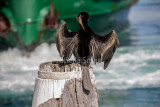 Australian darter with Manly ferry backdrop