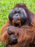 Close up of male orang utan