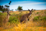 Two wallabies in Mungo National Park