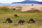 Kangaroos at Pebbly Beach