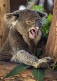 Koala yawning