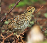 Spruce Grouse - Falcipennis canadensis (chick)