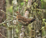 Spruce Grouse - Falcipennis canadensis (hen)