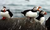 Atlantic Puffin - Fratercula arctica