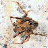 Eustala cepina (male)