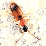 Telephanus atricapillus