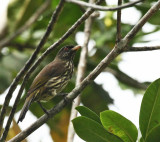 Palmchat - Dulus dominicus