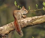 American Red Squirrel - Tamiasciurus hudsonicus