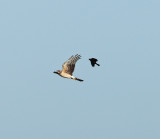 Northern Harrier - Circus cyaneus (chased by a Red-winged Blackbird)