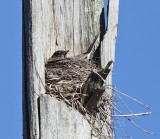 American Robin - Turdus migratorius (on nest in a dead tree)