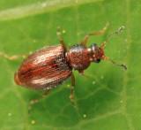 Corticarina sp.