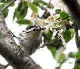 Black-and-white Warbler - Mniotilta varia (female)