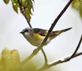 American Redstart - Setophaga ruticilla (female)