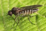 Axymyia furcata