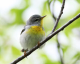 Northern Parula - Setophaga americana (female)