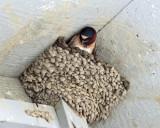 Cliff Swallow - Petrochelidon pyrrhonota