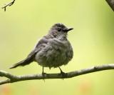 Gray Catbird - Dumetella carolinensis (just took a bath)