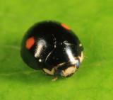 Hyperaspis binotata