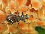 Pine Flower Snout Beetles - Cimberidae