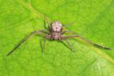 Running Crab Spiders - Philodromidae