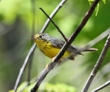 Canada Warbler - Cardellina canadensis (female)