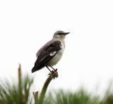 Northern Mockingbird - Mimus polyglottos (missing its tail)