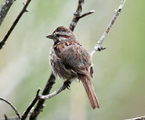 Song Sparrow - Melospiza melodia