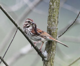 Song Sparrow - Melospiza melodia (with food)