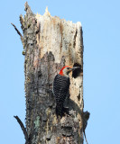 Red-bellied Woodpecker - Melanerpes carolinus (at nest cavity)