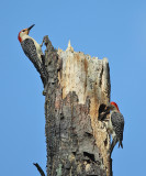 Red-bellied Woodpecker - Melanerpes carolinus (feeding young at nest cavity)