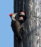 Pileated Woodpecker - Dryocopus pileatus (female feeding young)