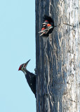 Pileated Woodpecker - Dryocopus pileatus (male and  young)