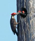 Pileated Woodpecker - Dryocopus pileatus (male feeding young)