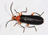 Neopyrochroa femoralis