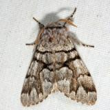 9182 – Eastern Panthea Moth – Panthea furcilla