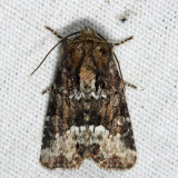 9415.1 – Marbled Minor – Oligia strigilis