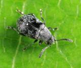Leaf Beetles - Subfamily Bruchinae - Pea and Bean Weevils