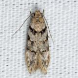 1874 - Pseudotelphusa quercinigracella