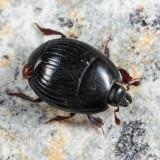 Atholus sedecimstriatus