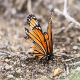 Viceroy - Limenitis archippus (torn up wings)