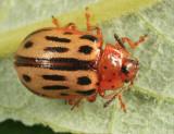 Chrysomela lineatopunctata