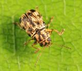 Pachybrachis obsoletus