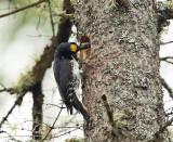Black-backed Woodpecker - Picoides arcticus (male feeding chicks)