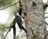 Black-backed Woodpecker - Picoides arcticus (male at nest hole)
