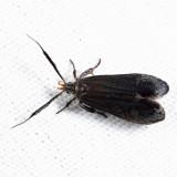 2307 - Dichomeris nonstrigella