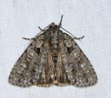9245 - Hesitant Dagger Moth - Acronicta haesitata