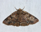 8704 - Brown-spotted Zale - Zale helata