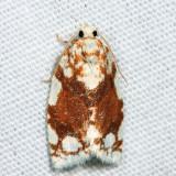 3624 -- White-spotted Leafroller - Argyrotaenia alisellana